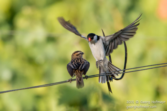 Pin-tailed Whydah - aerial display