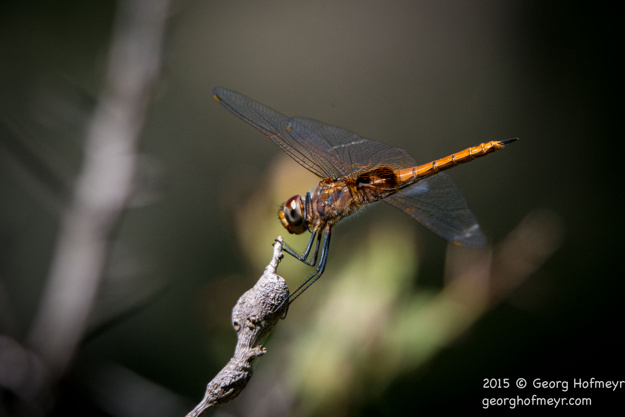 D800 image  quality Dragonfly - 16MP DX crop - [exif id=\