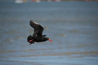 Knysna lagoon - struggled to get autofocus lock on these fast moving birds
